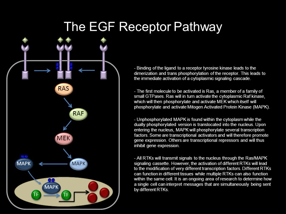 The Notch Pathway Duel Identities: Receptor and Transcription Factor Su(H) Delta Notch CtBP Gro Kuz - Upon binding of the Delta ligand to the Notch receptor, the receptor is bound by a cytoplasmic scissor protein called Kuzbanian (Kuz).