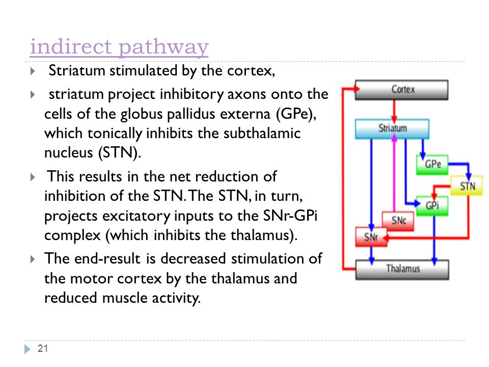 indirect pathway 21  Striatum stimulated by the cortex,  striatum project inhibitory axons onto the cells of the globus pallidus externa (GPe), which tonically inhibits the subthalamic nucleus (STN).