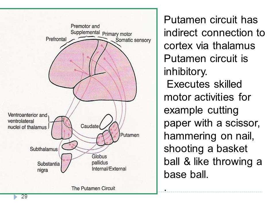 29 Putamen circuit has indirect connection to cortex via thalamus Putamen circuit is inhibitory.