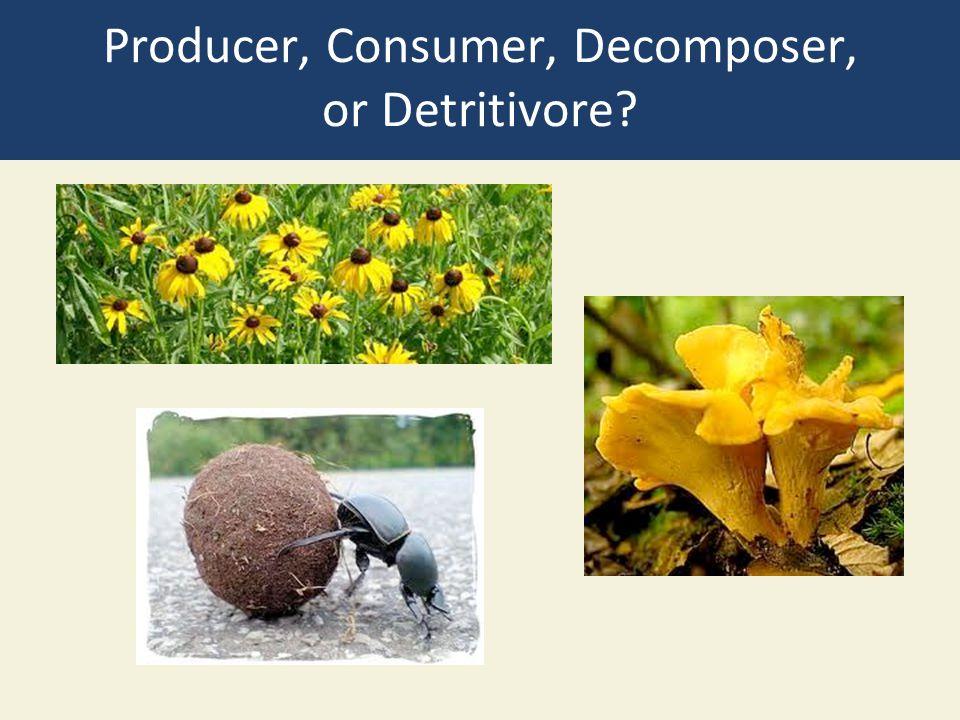 Producer, Consumer, Decomposer, or Detritivore?