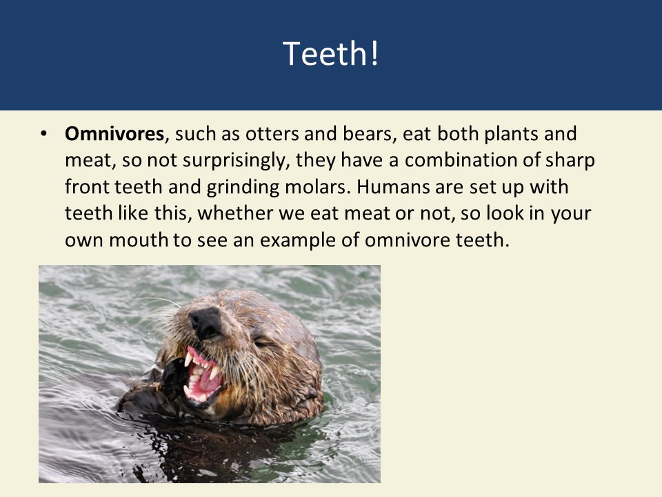 Teeth! Omnivores, such as otters and bears, eat both plants and meat, so not surprisingly, they have a combination of sharp front teeth and grinding m