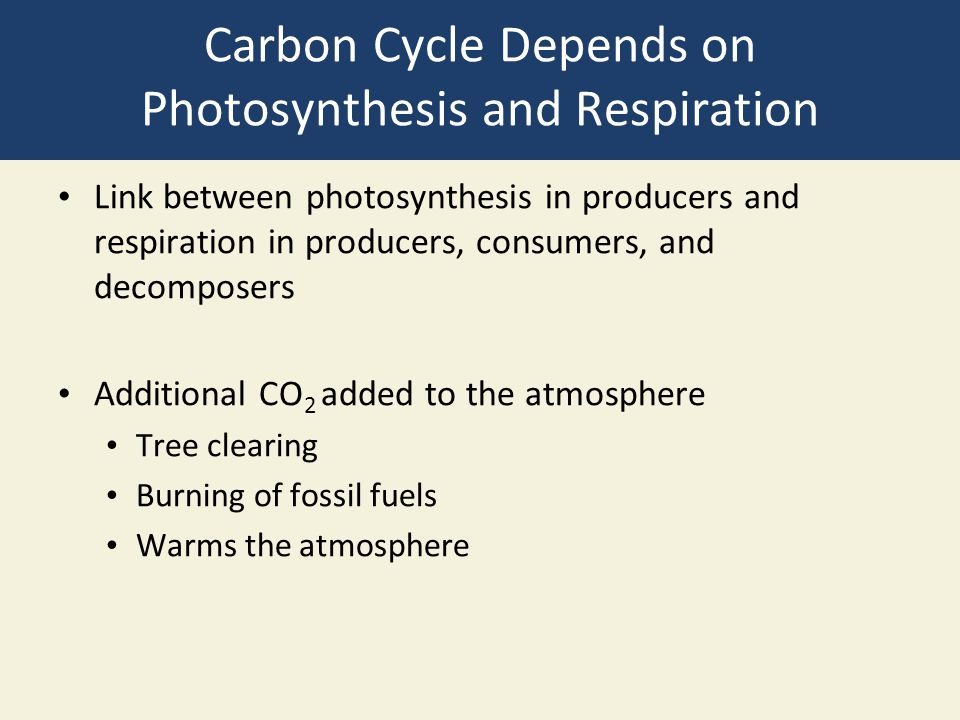 Carbon Cycle Depends on Photosynthesis and Respiration Link between photosynthesis in producers and respiration in producers, consumers, and decompose