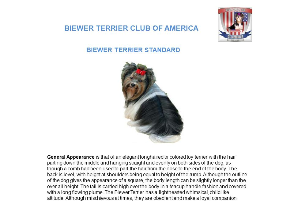 BIEWER TERRIER CLUB OF AMERICA General Appearance is that of an elegant longhaired tri colored toy terrier with the hair parting down the middle and h