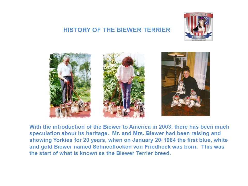 HISTORY OF THE BIEWER TERRIER With the introduction of the Biewer to America in 2003, there has been much speculation about its heritage.