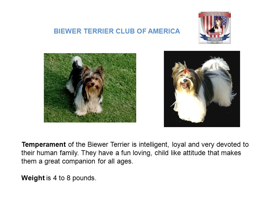 Temperament of the Biewer Terrier is intelligent, loyal and very devoted to their human family.