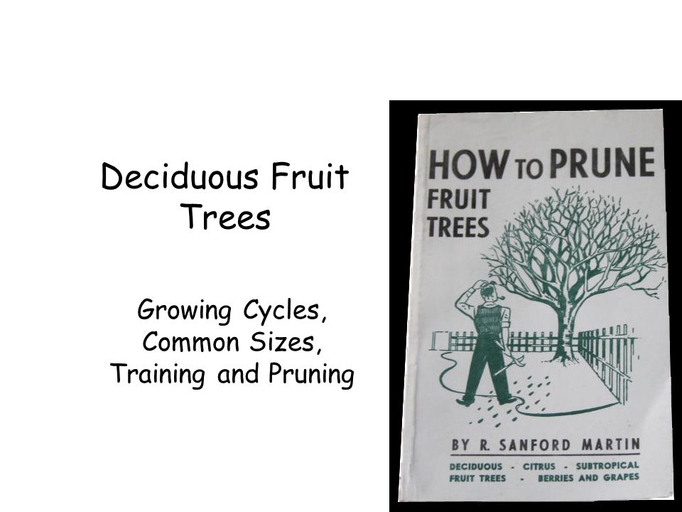 Peaches and Nectarines Produces fruit on 1 year old or last season's growth Prune 1/2 to 2/3 of all of last season's wood Reasons: –Fast growing –Needs new wood to bear fruit on –Hard pruning helps to support weight of crops