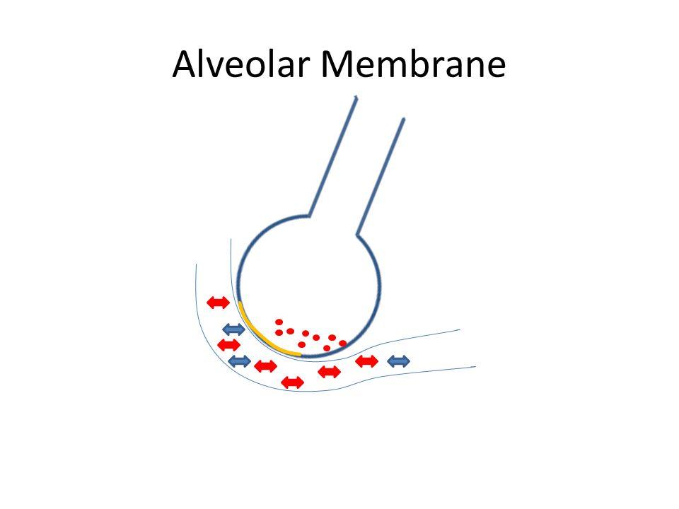 Alveolar Membrane