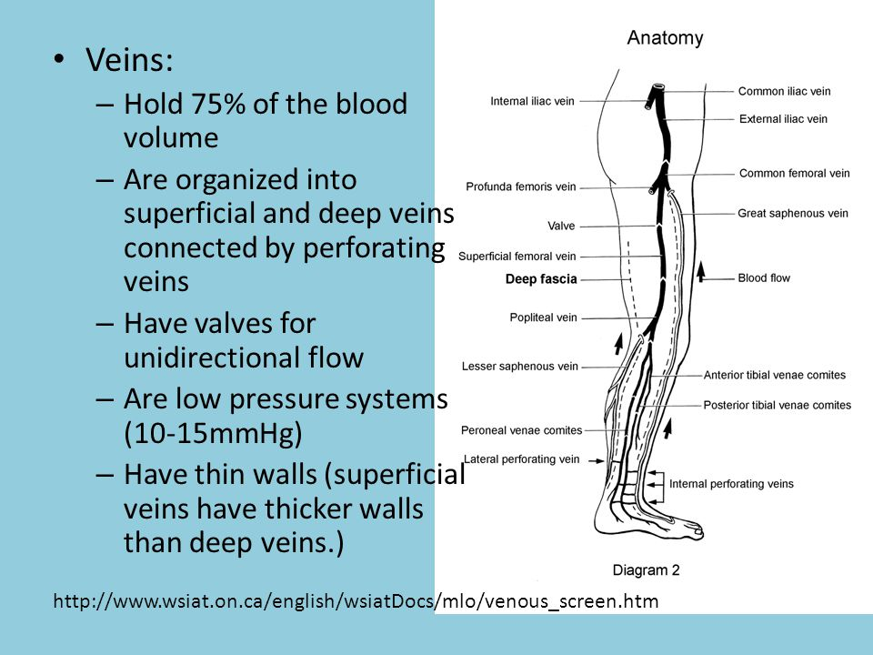 Veins: – Hold 75% of the blood volume – Are organized into superficial and deep veins connected by perforating veins – Have valves for unidirectional