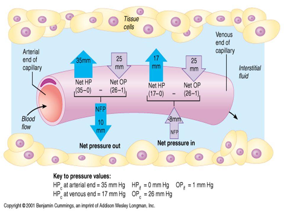 Maintaining BP (Short-term: neural) Vasomotor center Vasomotor center Baroreceptors Baroreceptors Chemoreceptors Chemoreceptors Hypothalamus and cerebral cortex Hypothalamus and cerebral cortex