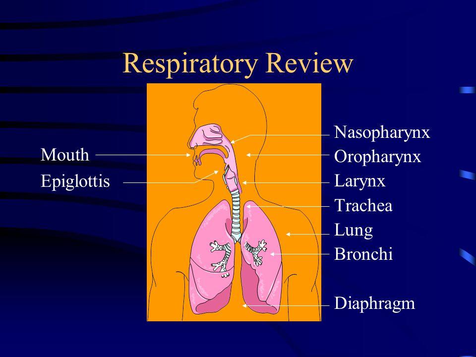 Respiratory Review Mouth Epiglottis Nasopharynx Oropharynx Larynx Trachea Lung Bronchi Diaphragm