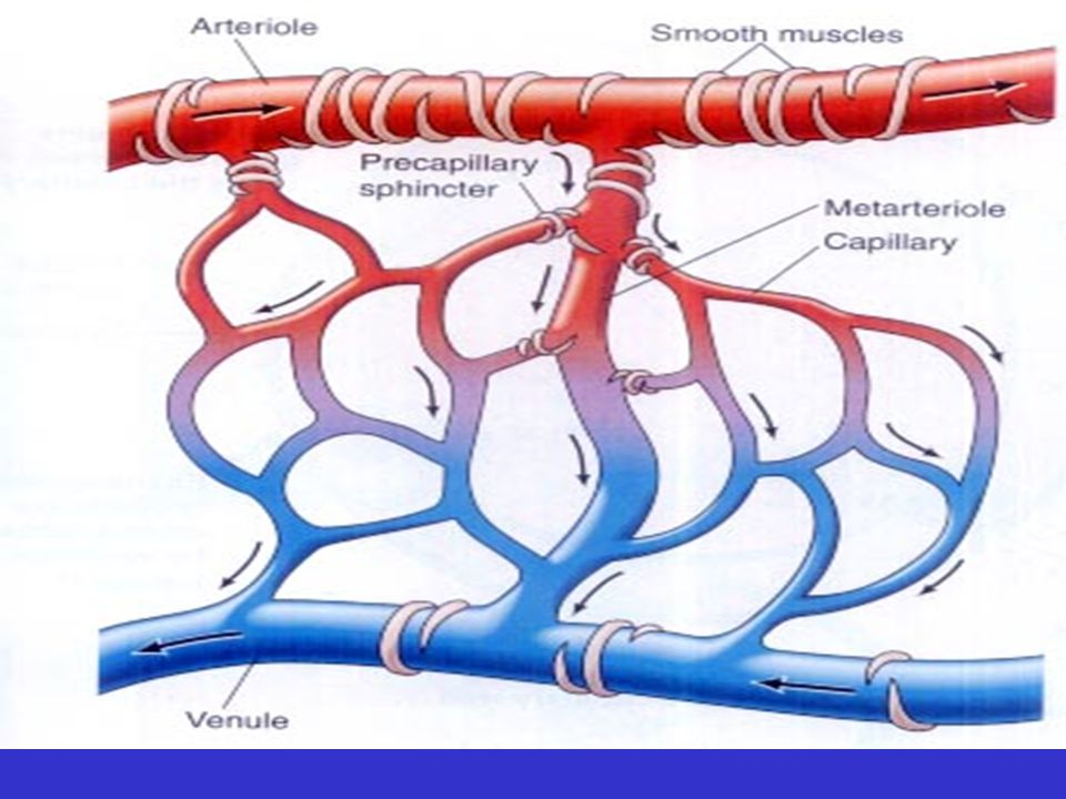 The Organization of a Capillary Bed.(a) A typical capillary bed.