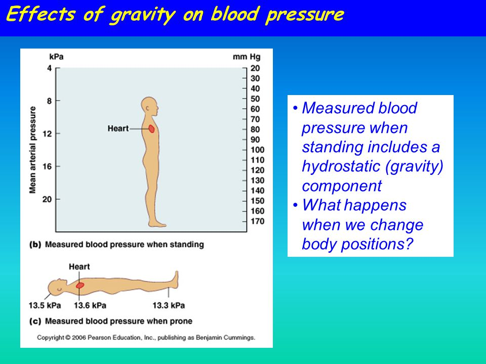 Measured blood pressure when standing includes a hydrostatic (gravity) component What happens when we change body positions? Effects of gravity on blo