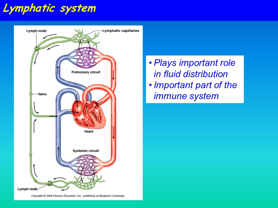 Plays important role in fluid distribution Important part of the immune system Lymphatic system