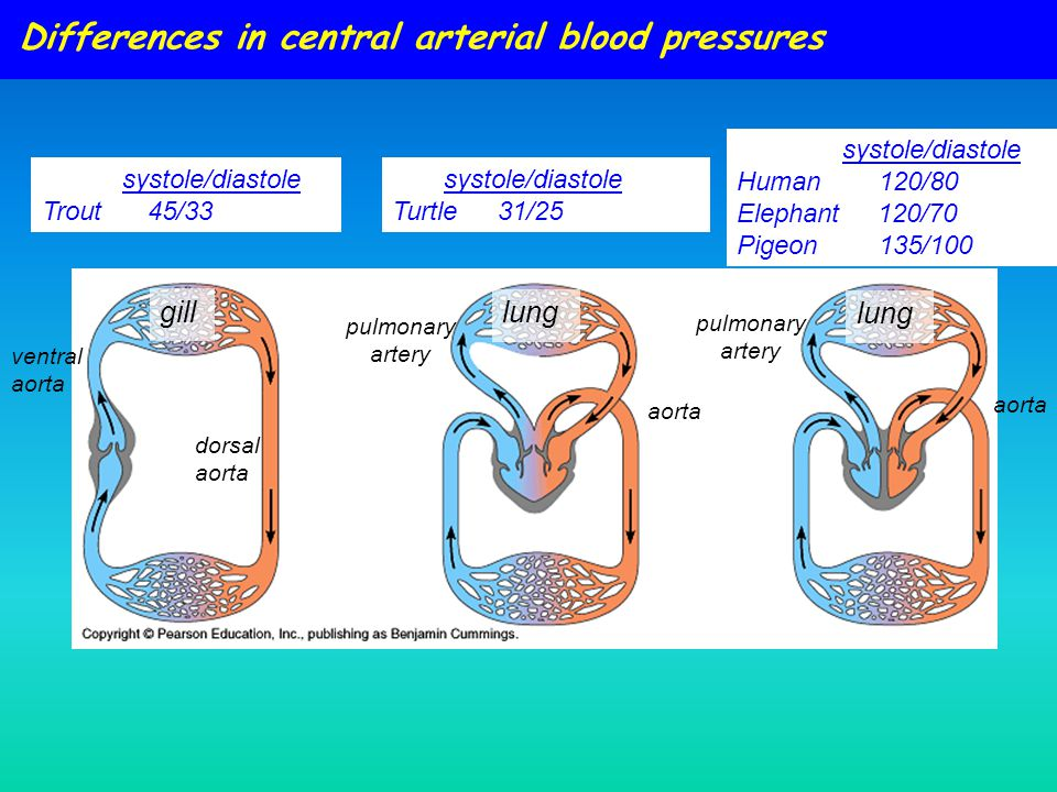 Differences in central arterial blood pressures systole/diastole Human 120/80 Elephant 120/70 Pigeon 135/100 gill lung ventral aorta pulmonary artery