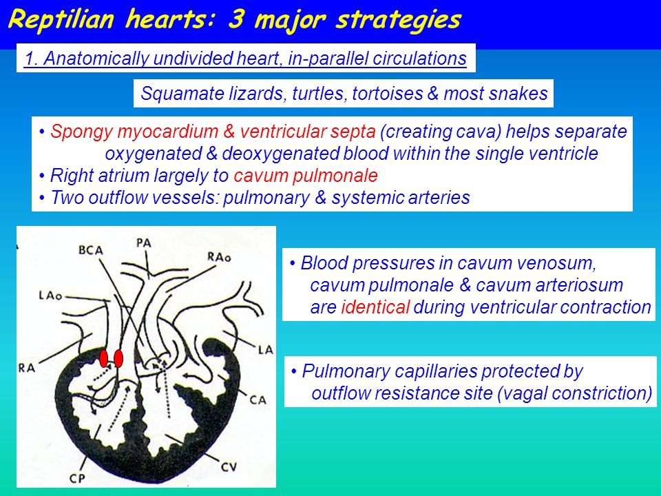 Spongy myocardium & ventricular septa (creating cava) helps separate oxygenated & deoxygenated blood within the single ventricle Right atrium largely