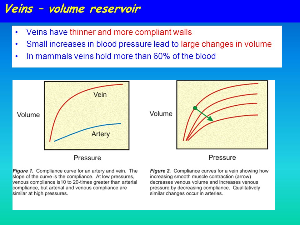 Veins – volume reservoir Veins have thinner and more compliant walls Small increases in blood pressure lead to large changes in volume In mammals vein