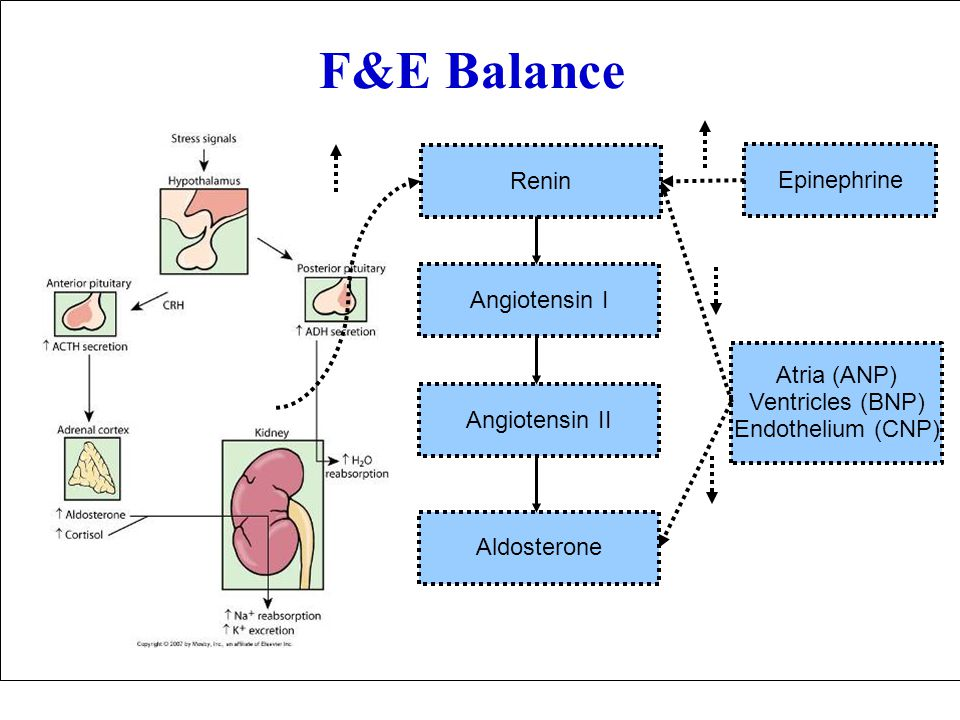 F&E Balance Atria (ANP) Ventricles (BNP) Endothelium (CNP) Epinephrine Renin Angiotensin II Angiotensin I Aldosterone