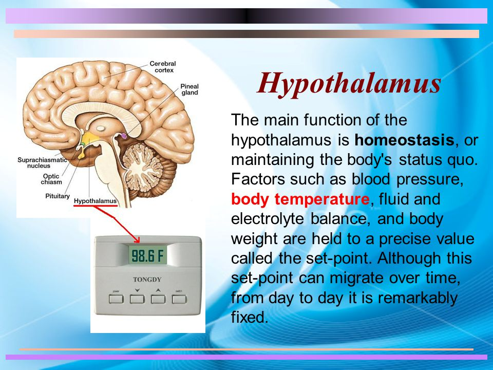 Hypothalamus The main function of the hypothalamus is homeostasis, or maintaining the body s status quo.