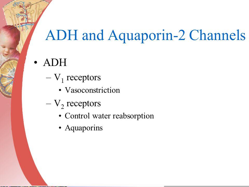 ADH and Aquaporin-2 Channels ADH –V 1 receptors Vasoconstriction –V 2 receptors Control water reabsorption Aquaporins
