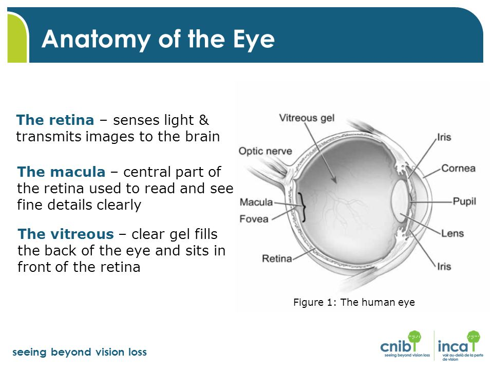 seeing beyond vision loss Anatomy of the Eye The retina – senses light & transmits images to the brain Figure 1: The human eye The macula – central part of the retina used to read and see fine details clearly The vitreous – clear gel fills the back of the eye and sits in front of the retina