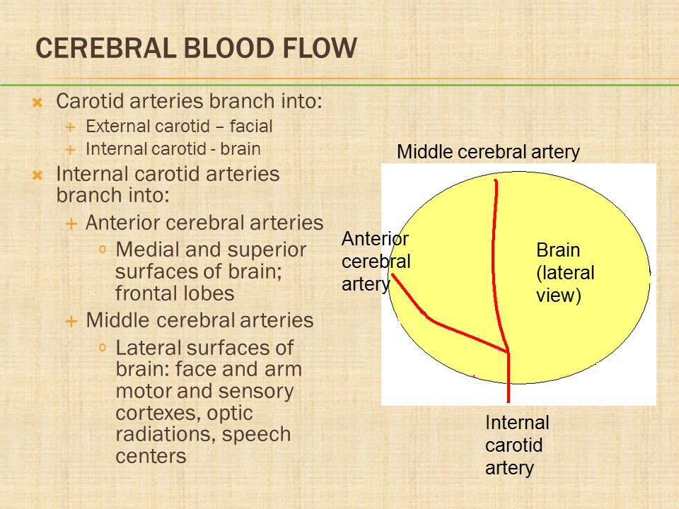 CEREBRAL BLOOD FLOW  Carotid arteries branch into:  External carotid – facial  Internal carotid - brain  Internal carotid arteries branch into:  Anterior cerebral arteries º Medial and superior surfaces of brain; frontal lobes  Middle cerebral arteries º Lateral surfaces of brain: face and arm motor and sensory cortexes, optic radiations, speech centers Brain (lateral view) Internal carotid artery Middle cerebral artery Anterior cerebral artery