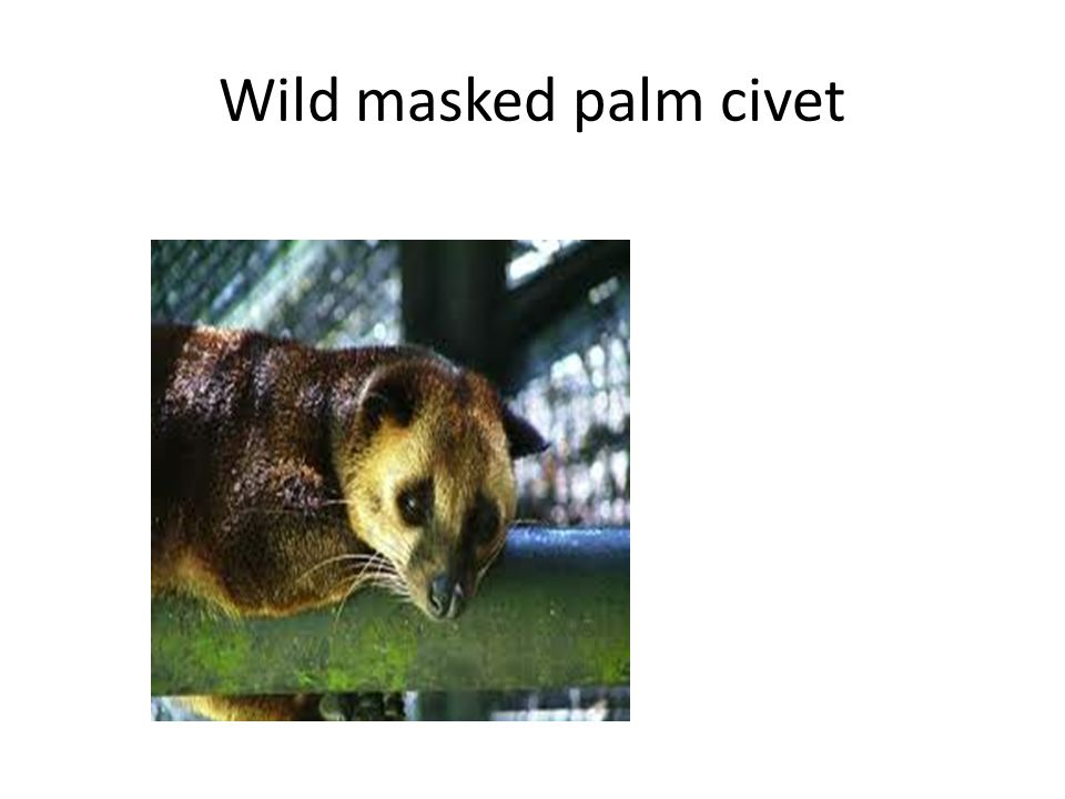 Wild masked palm civet