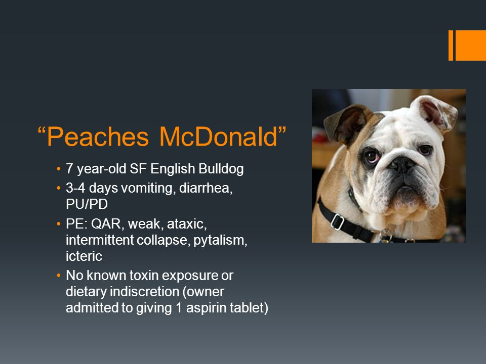 """Peaches McDonald"" 7 year-old SF English Bulldog 3-4 days vomiting, diarrhea, PU/PD PE: QAR, weak, ataxic, intermittent collapse, pytalism, icteric No"