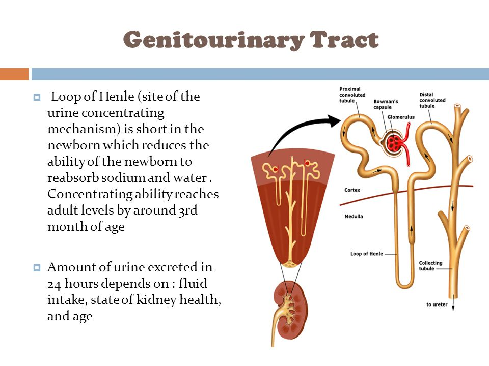 Genitourinary Tract  Loop of Henle (site of the urine concentrating mechanism) is short in the newborn which reduces the ability of the newborn to re