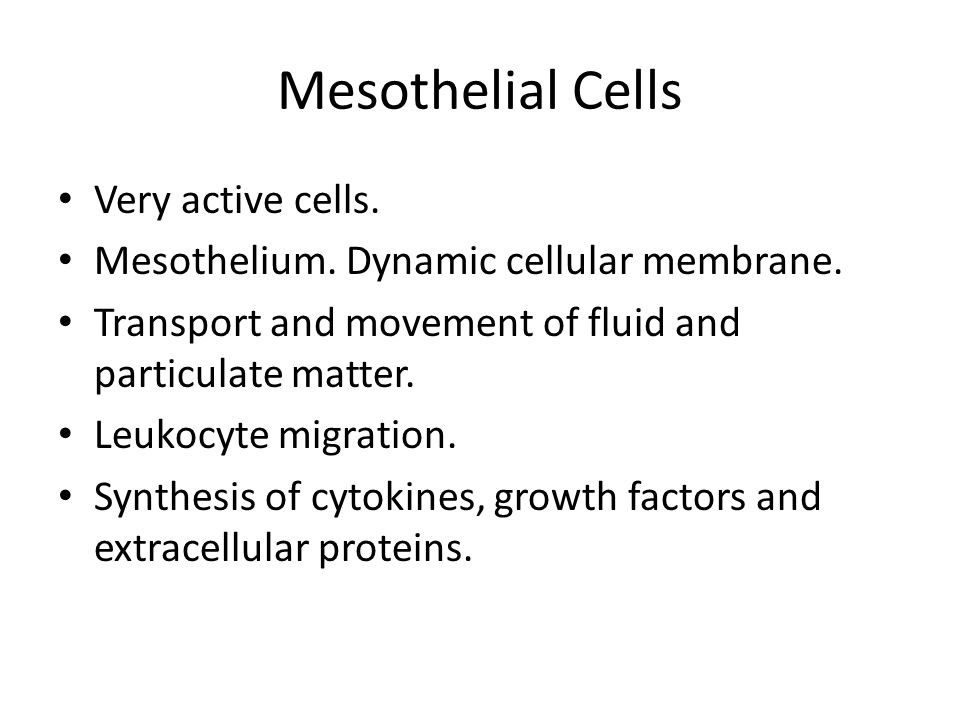 Mesothelial Cells Very active cells. Mesothelium. Dynamic cellular membrane. Transport and movement of fluid and particulate matter. Leukocyte migrati