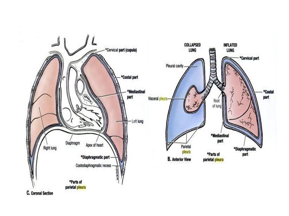 Alveolar pressure is constant throughout the lung.