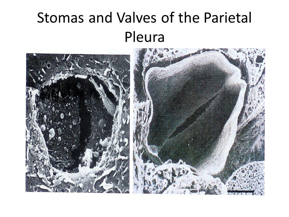Stomas and Valves of the Parietal Pleura