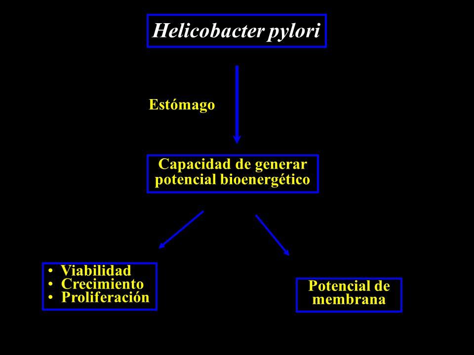 Helicobacter pylori Estómago Capacidad de generar potencial bioenergético Potencial de membrana Viabilidad Crecimiento Proliferación