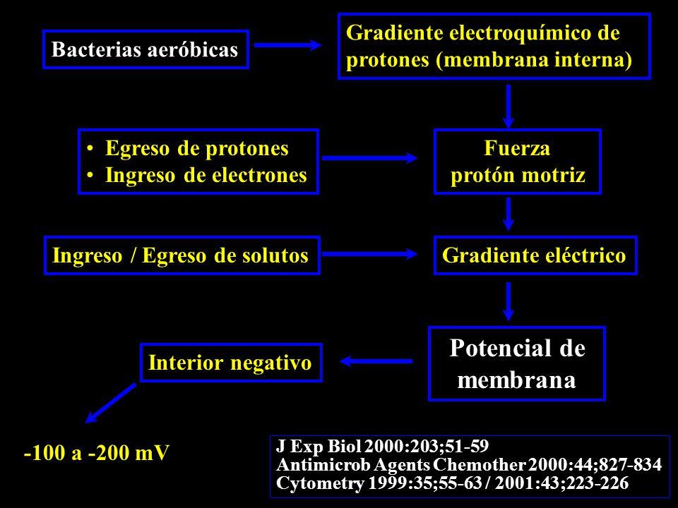 Bacterias aeróbicas Gradiente electroquímico de protones (membrana interna) Fuerza protón motriz Egreso de protones Ingreso de electrones Gradiente eléctricoIngreso / Egreso de solutos Potencial de membrana Interior negativo -100 a -200 mV J Exp Biol 2000:203;51-59 Antimicrob Agents Chemother 2000:44;827-834 Cytometry 1999:35;55-63 / 2001:43;223-226