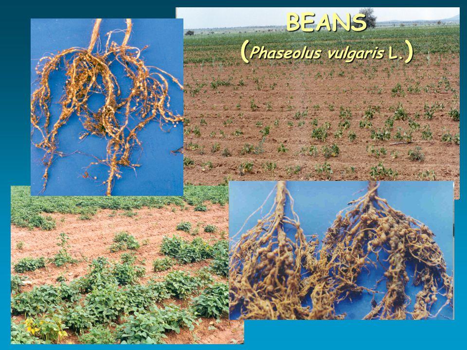 BEANS ( Phaseolus vulgaris L. )