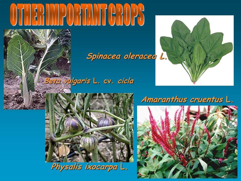 Spinacea oleracea L. Physalis ixocarpa L. Beta vulgaris L. cv. cicla Amaranthus cruentus L.