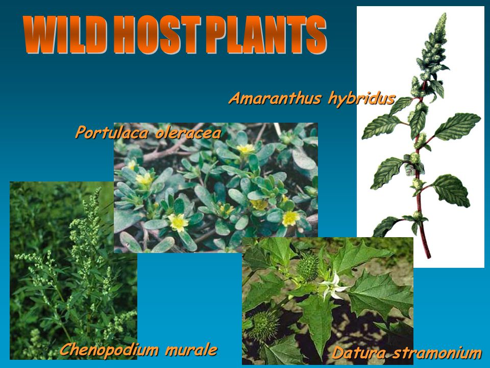 Chenopodium murale Portulaca oleracea Amaranthus hybridus Datura stramonium