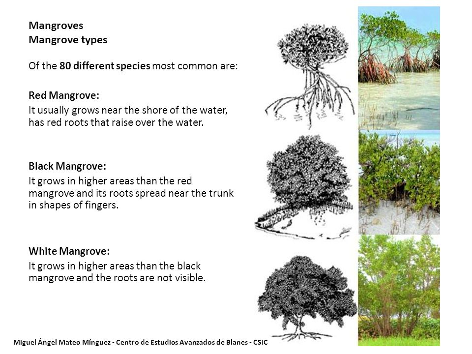Mangroves Mangrove types Of the 80 different species most common are: Red Mangrove: It usually grows near the shore of the water, has red roots that raise over the water.