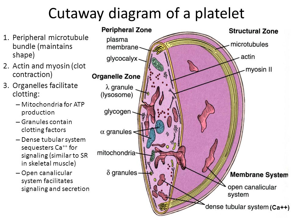 (Ca++) Cutaway diagram of a platelet 1.Peripheral microtubule bundle (maintains shape) 2.Actin and myosin (clot contraction) 3.Organelles facilitate c