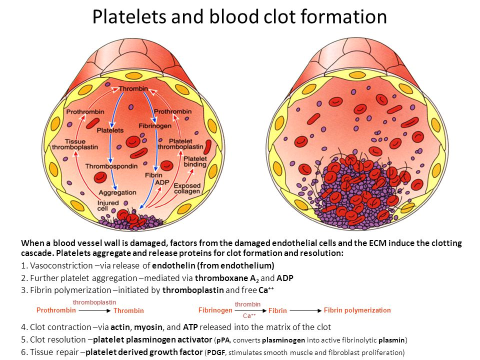 When a blood vessel wall is damaged, factors from the damaged endothelial cells and the ECM induce the clotting cascade.