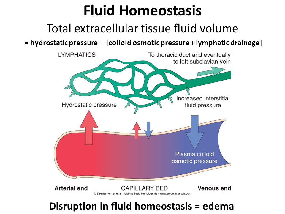 Fluid Homeostasis Total extracellular tissue fluid volume = hydrostatic pressure – [colloid osmotic pressure + lymphatic drainage] Disruption in fluid homeostasis = edema
