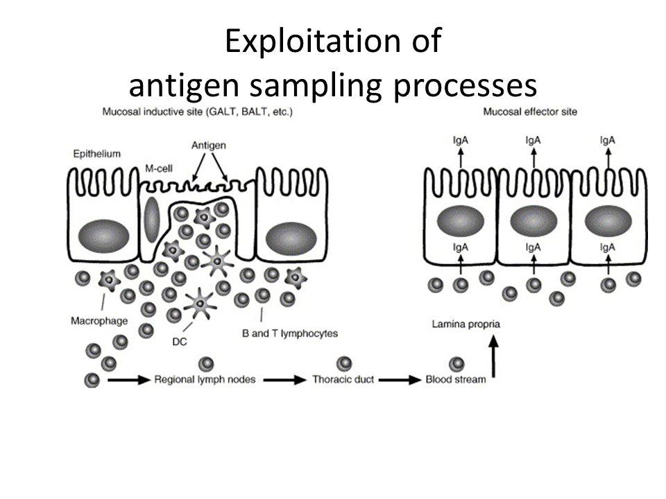 Exploitation of antigen sampling processes