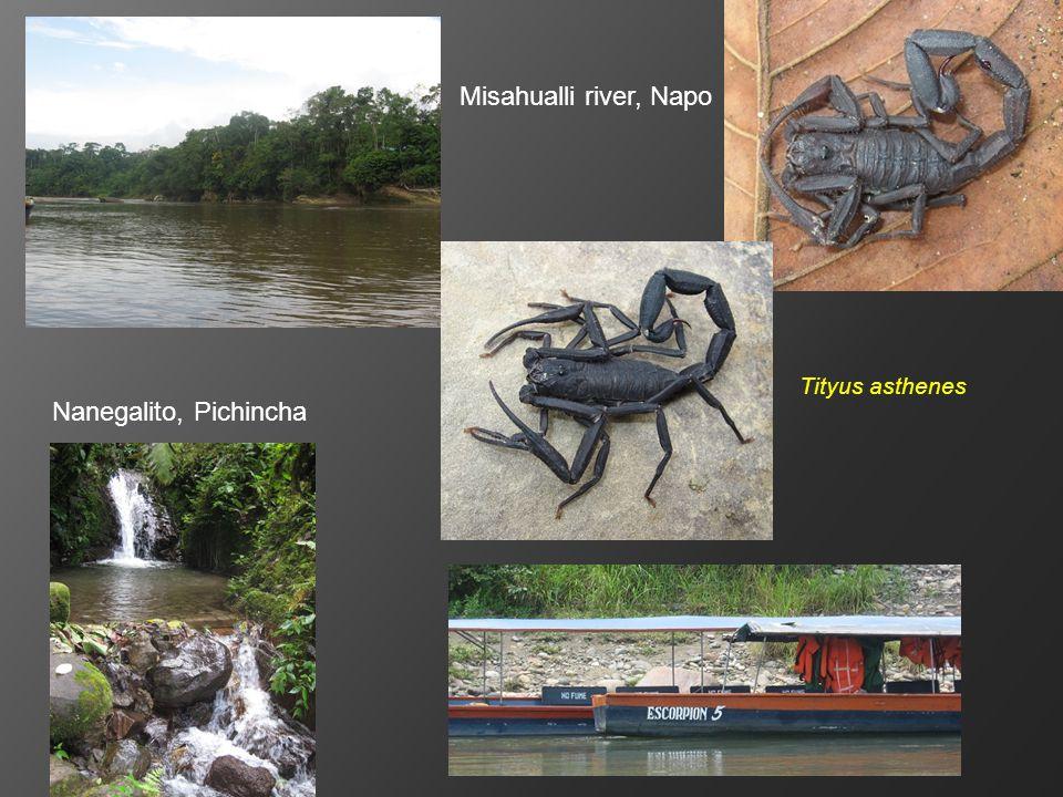 Tityus asthenes Misahualli river, Napo Nanegalito, Pichincha