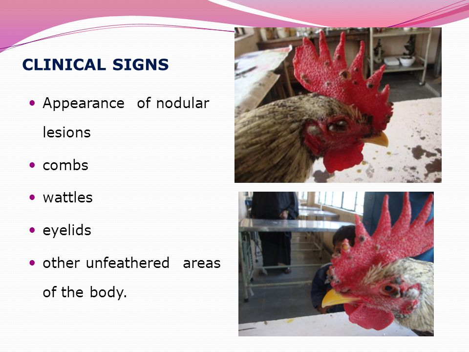 CLINICAL SIGNS Appearance of nodular lesions combs wattles eyelids other unfeathered areas of the body.