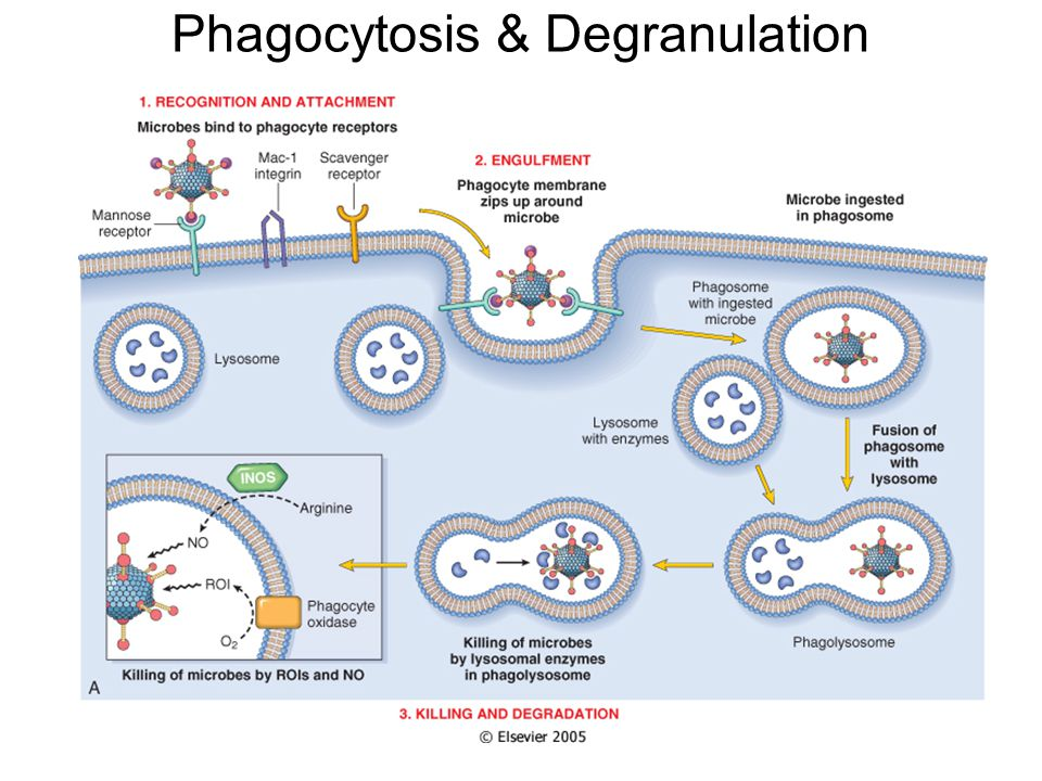 Phagocytosis & Degranulation