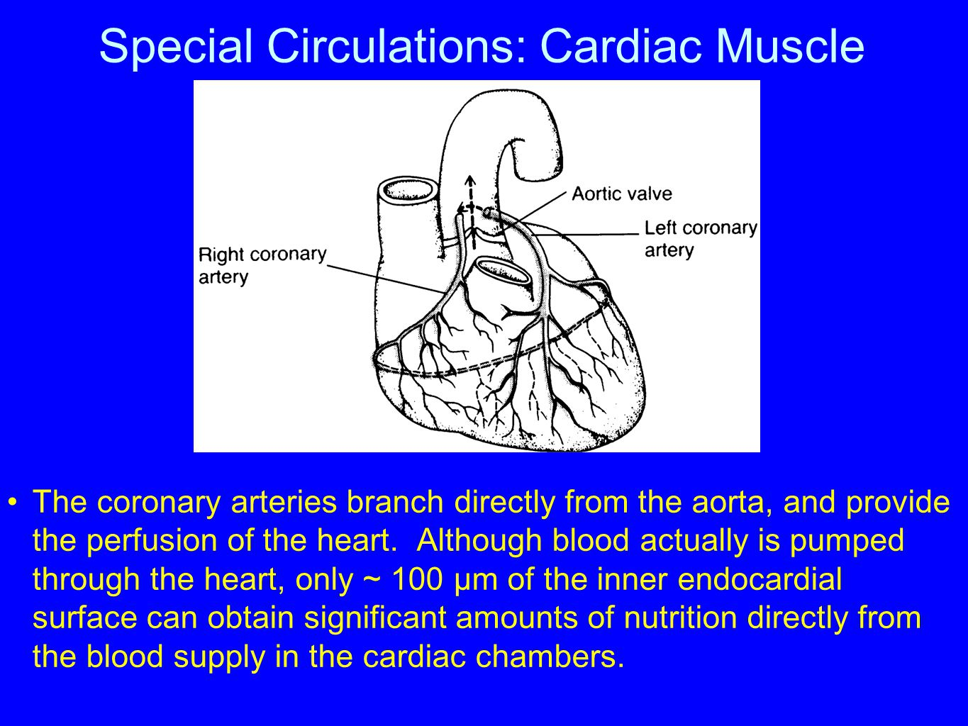 Special Circulations: Cardiac Muscle The coronary arteries branch directly from the aorta, and provide the perfusion of the heart. Although blood actu