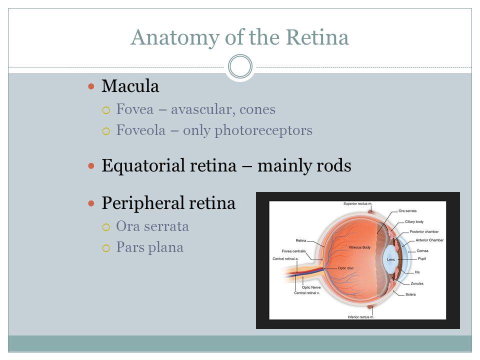 Anatomy of the Retina Macula  Fovea – avascular, cones  Foveola – only photoreceptors Equatorial retina – mainly rods Peripheral retina  Ora serrata  Pars plana
