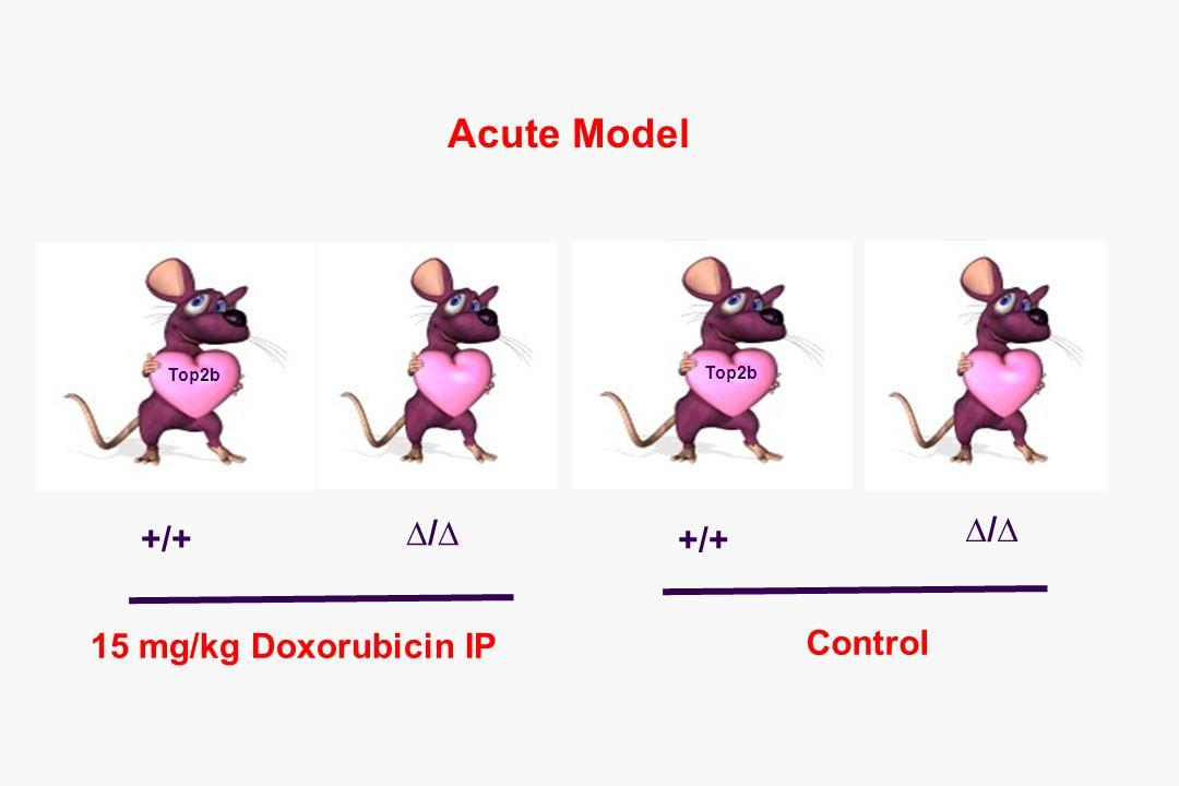 Top2b 15 mg/kg Doxorubicin IP Control +/+ ∆/∆ +/+ ∆/∆ Acute Model