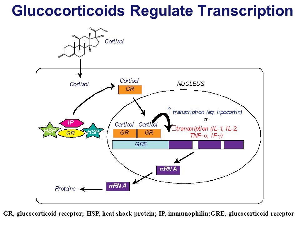 Glucocorticoids Regulate Transcription GR, glucocorticoid receptor; HSP, heat shock protein; IP, immunophilin;GRE, glucocorticoid receptor