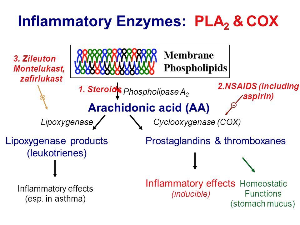 Phospholipase A 2 Arachidonic acid (AA) Prostaglandins & thromboxanesLipoxygenase products (leukotrienes) Cyclooxygenase (COX)Lipoxygenase Inflammatory effects (esp.