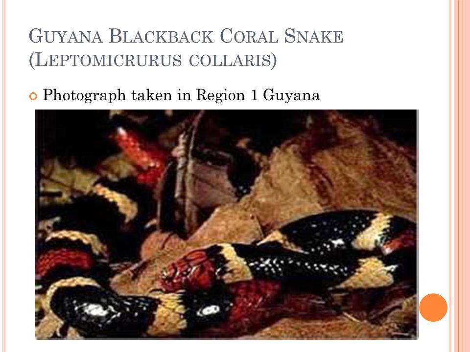 G UYANA B LACKBACK C ORAL S NAKE (L EPTOMICRURUS COLLARIS ) Photograph taken in Region 1 Guyana